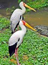 Paired birds these two look quite identical Royalty Free Stock Photo