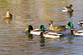 Pairs of ducks mallard or wild anas platyrhynchos swimming on lake Stock Image