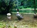 Paisaje y cisne de la naturaleza Foto de archivo libre de regalías