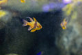 Pajama cardinalfish sphaeramia nematoptera the spotted coral or polkadot is a species of Stock Photos