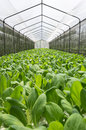 Pak choi a chinese bok choy or in the hydroponic greenhouse Royalty Free Stock Image