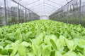 Pak choi a chinese bok choy or in the hydroponic greenhouse Stock Images