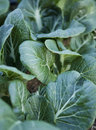 Pak Choi in the Garden Royalty Free Stock Photography