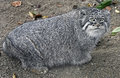 Palas s сat also known as manul latin name felis manul Royalty Free Stock Photography