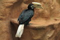 Palawan hornbill Royalty Free Stock Photo