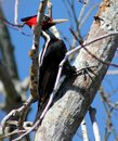 Pale billed woodpecker campephilus guatemalensis a female in a tree in mazatlan mexico Stock Photography