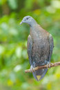 Pale capped pigeon columba punicea the portrait of Stock Photography