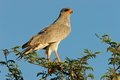 Pale chanting goshawk Stock Foto