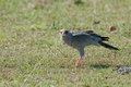 Pale Chanting Goshawk with lizard Stock Images