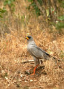 Pale chanting-goshawk with prey Royalty Free Stock Image