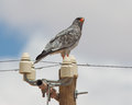Pale chanting goshawk resting on a pole namibia Stock Photography