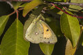 Pale clouded yellow (Colias hyale) Royalty Free Stock Photo