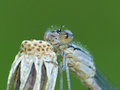 Pale damselfly on dried dandelion closeup of a the tip of a plant Royalty Free Stock Photos