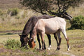 Pale and dark New Forest ponies Stock Photo