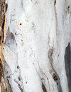 Pale eucalyptus tree bark white Stock Images
