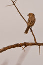 A Pale Flycatcher Stock Photography