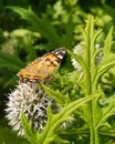 Pale globe thistle a monarch butterfly danaus chrisippus on a great echinops spheerosphalus or Royalty Free Stock Photo