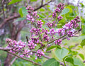 Pale lilac flowers of the lilac branches with green leaves with blurred background. Green branch with spring lilac
