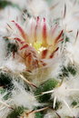 Pale mammillaria flower Stock Photos