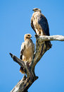 Pale morph tawny eagles aquila rapax sitting on a dead tree Stock Photo