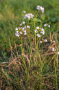 Pale pink blooming cuckoo flower plants fragile budding and flowering lady s smock or cardamine pratensis between grass in the Stock Photo