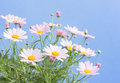 Pale pink daisies Royalty Free Stock Photo