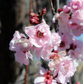 Pale pink double blooms of flowering plum tree adorning the bare branches in early spring are a haven for honey bees attracted to Royalty Free Stock Photo