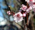 Pale pink double blooms of flowering plum tree adorning the bare branches in early spring are a haven for honey bees attracted to Stock Photo