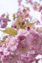 Pale pink ornamental cherry tree flowers decorated with blossoms in the spring sunshine Stock Image