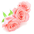Pale pink rose beautiful flower isolated on white background Royalty Free Stock Images