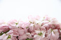 Pale pink stock blossoms Royalty Free Stock Images