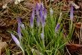 Pale Purple Crocus Buds Covere...