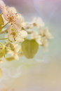 Pale spring blossom macro Royalty Free Stock Images
