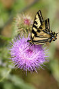 Pale Swallowtail butterfly Stock Photos