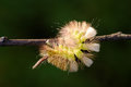 Pale tussock caterpillar calliteara pudibunda is a moth of the lymantriidae family it is found in europe and anatolia Royalty Free Stock Images