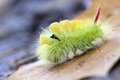 The pale tussock caterpillar yelow hairy calliteara pudibunda is a moth of lymantriidae family with a red tail it can be found in Royalty Free Stock Photo