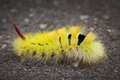 Pale Tussock Moth caterpillar Royalty Free Stock Images