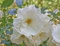 Pale white wild rose flower closeup Stock Photos
