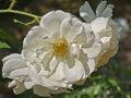 Pale white wild rose flower closeup Stock Photo