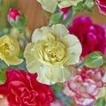 Pale yellow carnation flower closeup Stock Photography