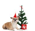 Pale yellow dog near the present and christmas tree doggy isolated on white Royalty Free Stock Images
