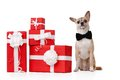 Pale yellow doggy sits near the gifts Royalty Free Stock Photos