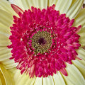 Pale yellow and red Gerber daisy Royalty Free Stock Photo