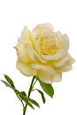 Pale yellow rose isolated on white background Stock Photography