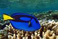 Palette surgeonfish pacific blue tang on the coral reef Royalty Free Stock Image