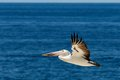 Palican flying over the sea an australian pelican Royalty Free Stock Image