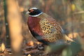 Pallas's pheasant Royalty Free Stock Images