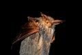 Pallid Bat (Antrozous pallidus) Royalty Free Stock Photo