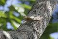 Pallid spinetail, Cranioleuca pallida Royalty Free Stock Photo