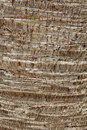 Palm bark texture Royalty Free Stock Photography